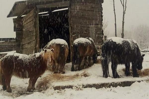 I pony delle nevi
